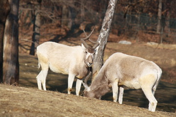 Two addax antelopes feeding on meadow