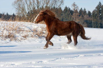Brown horse run gallop in winter