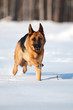 german shepherd running in the snow