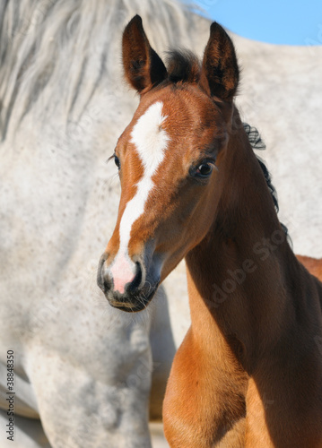 Portrait of bay foal
