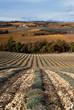 champ de lavande en automne
