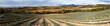 panoramique champ de lavande en automne