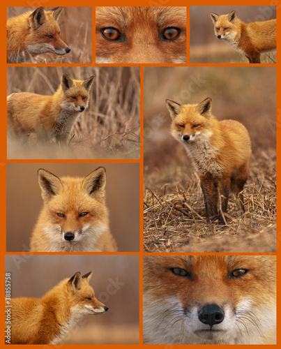 Red Fox Collage