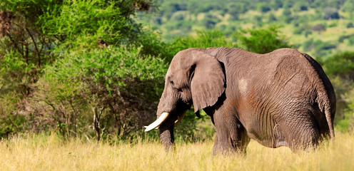 Elephant in the Tarangire National Park, Tanzania