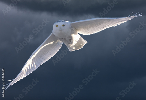 Foto op Plexiglas Uil Snowy Owl in Flight