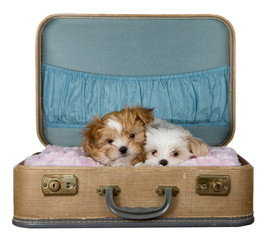 two small puppies in a vintage suitcase