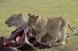 leoni che mangiano