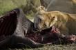 Pasto della leonessa