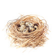 Nest Of Quail Eggs