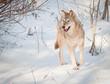 attentive wolf