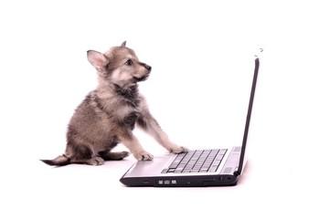 Wolfshund Welpe arbeitet am Laptop