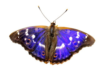 Butterfly - Lesser Purple Emperor on white