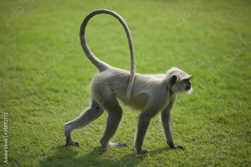 Monkey langur or hanuman on the green grass in India