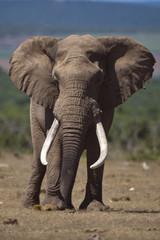 Elephant Patriarch