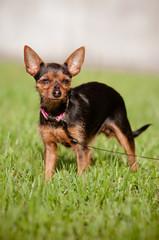 tiny mixed breed dog