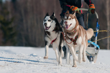 a pair of siberian huskies on a sled dog race