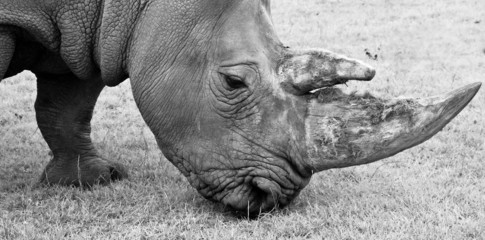 Close up black and white staring eye rhino face and horn