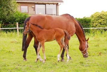 a brown horse with a foal