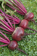 Freshly picked beetroot vegetables