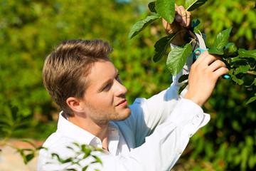 Mann schneidet Obstbaum zu
