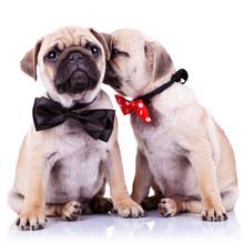 Adorable pug puppy psy para