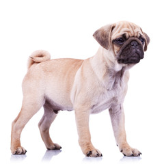 standing pug puppy dog looking to a side
