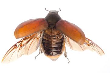 scarab may beetle