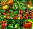 organic tomatoes set