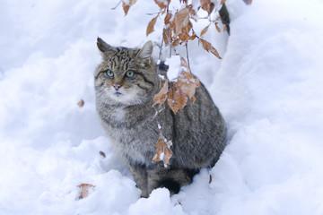 Gatto selvatico al Bayerische