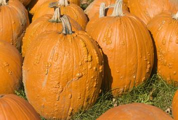 orange pumpkin field