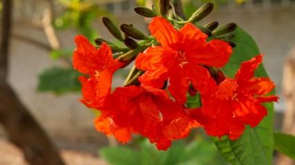 Geiger tree,cordial flowers