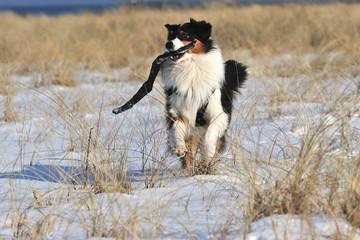 Australien Shepherd spielt im Schnee
