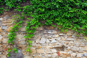 A green ivy on a stone wall, a beautiful background
