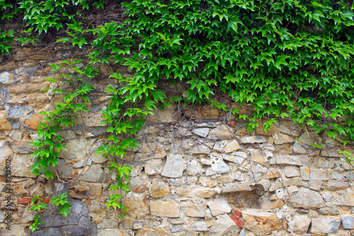 obraz lub plakat A green ivy on a stone wall, a beautiful background