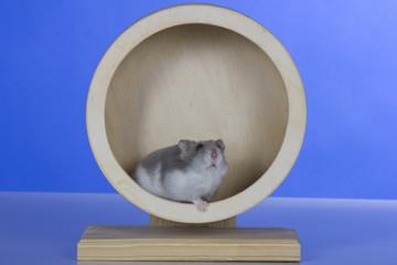 Hamster, Cricetinae, Dsungarische Zwerghamster