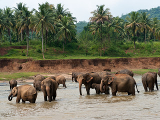 Elephants in a tropical river, Pinnawala, Sri Lanka