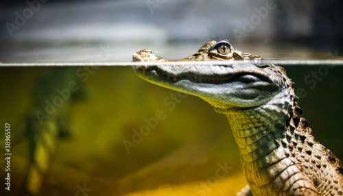 Spoed canvasdoek 2cm dik Krokodil Caiman crocodilus