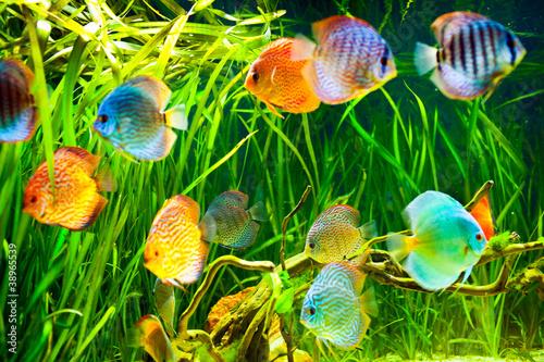 Tuinposter Koraalriffen Symphysodon discus