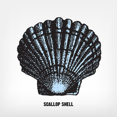 Engraving vintage Scallop shell.