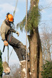 Man lowering a section of tree