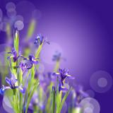 Fototapety Iris, fond violet et bokeh