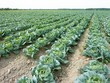 A field with rows of cabbage (brassica olerocea)