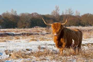 Pregnant Highland cow in winter coat