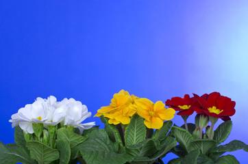 Primeln, Primula, Primelgewächse,.Primulaceae