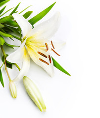 madonna lily isolated on a white background