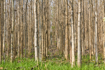 Teak trees at agricultural forest in summer
