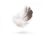 art dove white feathers isolated on white background - 38995503