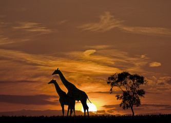 Sunset and The Giraffes silhouette in Africa