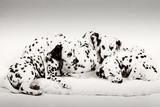 Fototapete Animals - Schwarzweiss - Haustiere