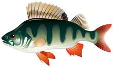 Okoń, ryby grafika wektorowa